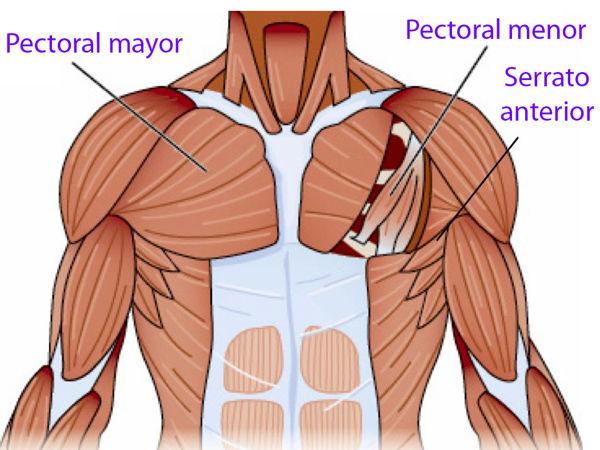 grupos musculares del pectoral