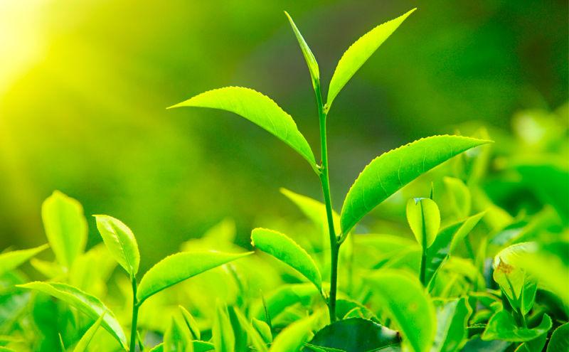 planta de té